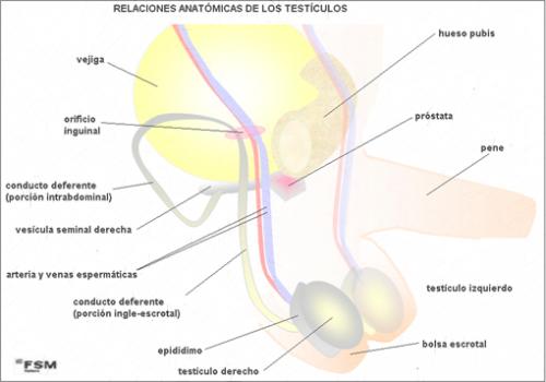 TP - ¿Dolor en los testículos? - Urólogo - Dr. Francisco Ramos ...